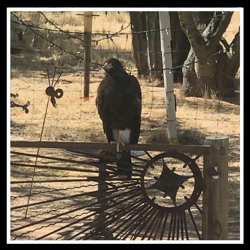 hawk on gate