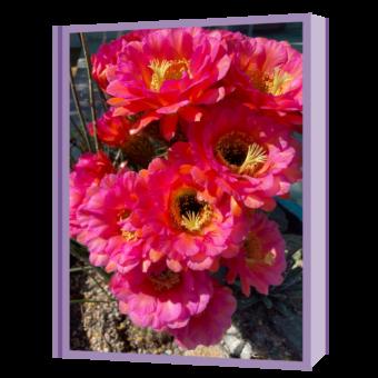 torch cactus blooms
